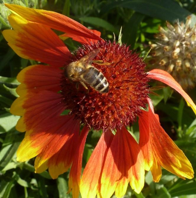 Margeritenblüte mit Biene