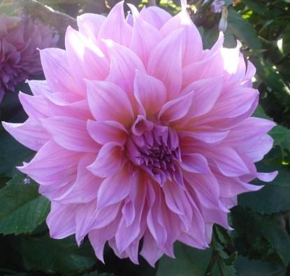 Schöne Dahlienblüte auf der Remagener Promenade