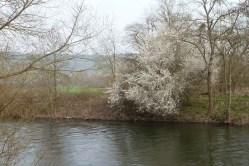 Die Ahr mit weißen Blütenbaum am Ufer