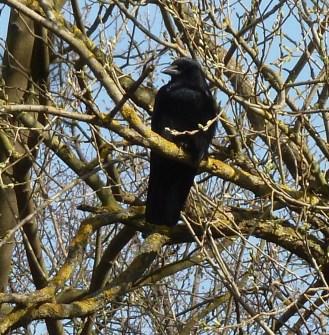 Amsel im hohen Baum