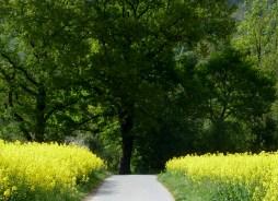 Wanderweg mit Rapsfeld