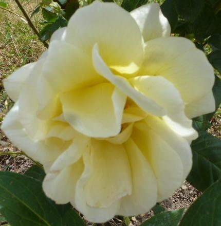 weiß-gelbe Rose