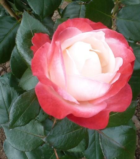 Weiß-rote Rose wunderschön