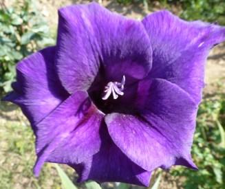 lila Traumblüte