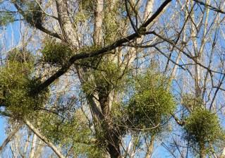 Mistelbusch am Ahornbaum