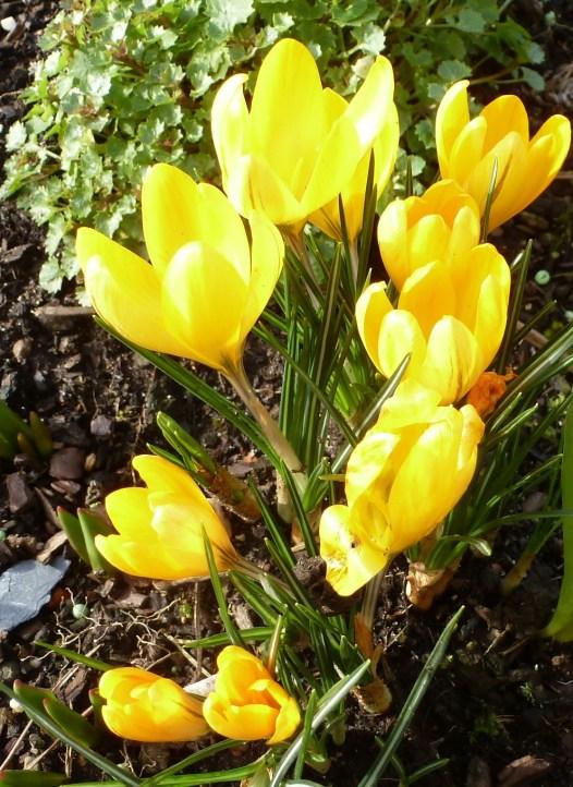 gelbe Krussblüten