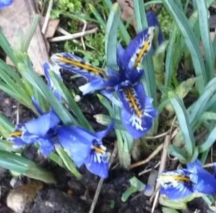 blaue Lilien