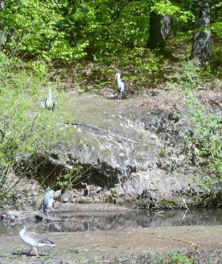 Drei Reiher warten auf kleine Fischlein
