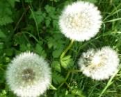 Die Löwenzahn Samen sind bald verweht,wer weiß wo der Wind die Samen hin trägt