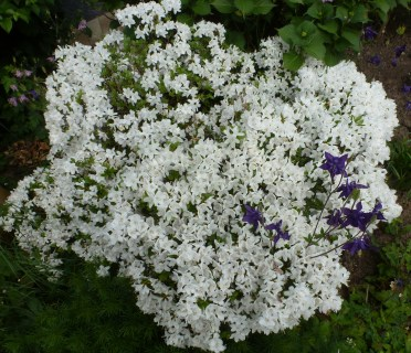 weißer Azaleenbusch in voller Blüte