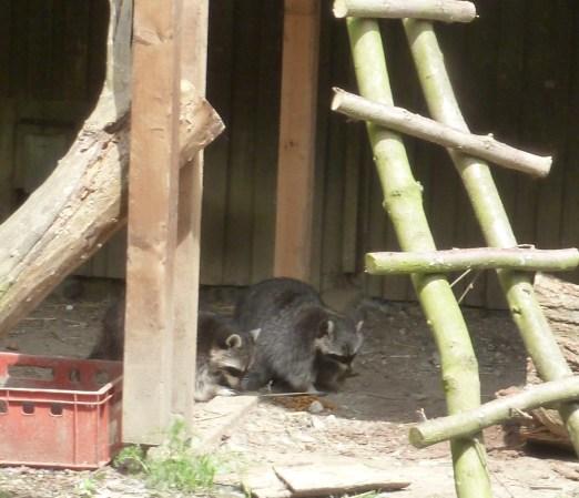 Waschbären