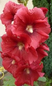 rote Malvenblüten