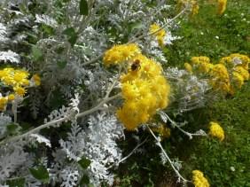 Silberbusch mit gelbe Blüten