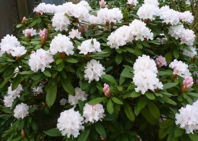 Rhododendronbusch