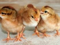 Lịch tiêm phòng vacxin cho gà đúng tiêu chuẩn