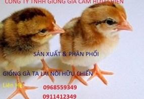 Phân Phối cung cấp giống gà ta Bình Định