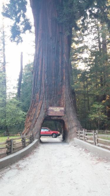 Chandelier Drive Thru Tree, Leggett, CA 1