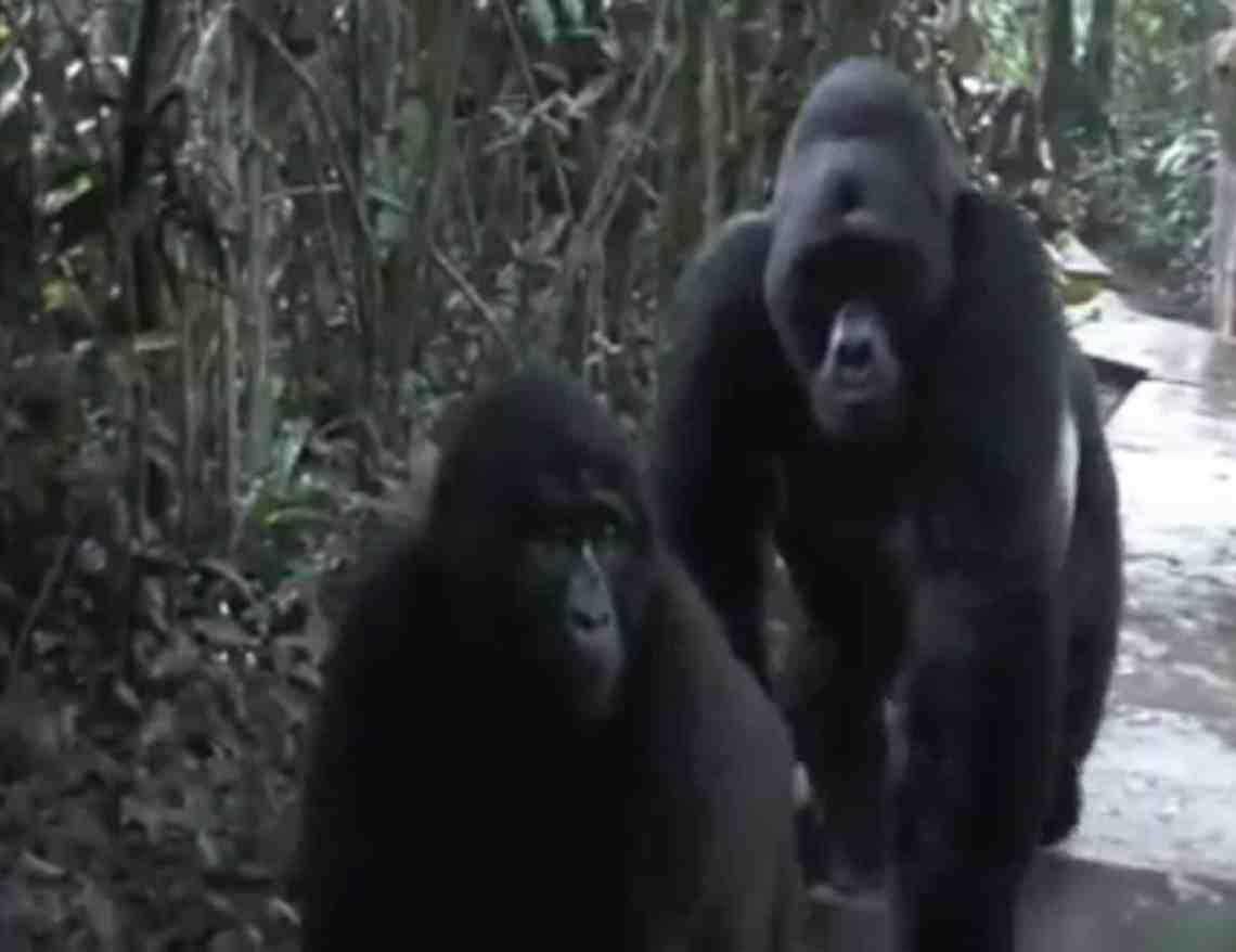 Quand des gorilles libres rencontrent des humains
