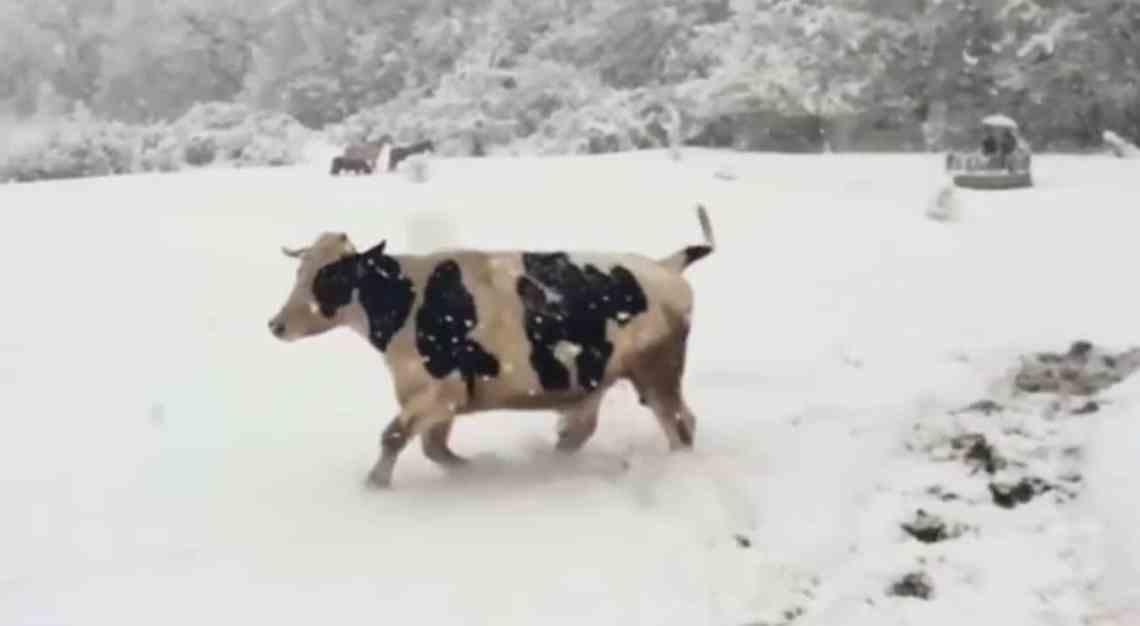 Une vache sauvée de l'abattoir qui joue dans la neige