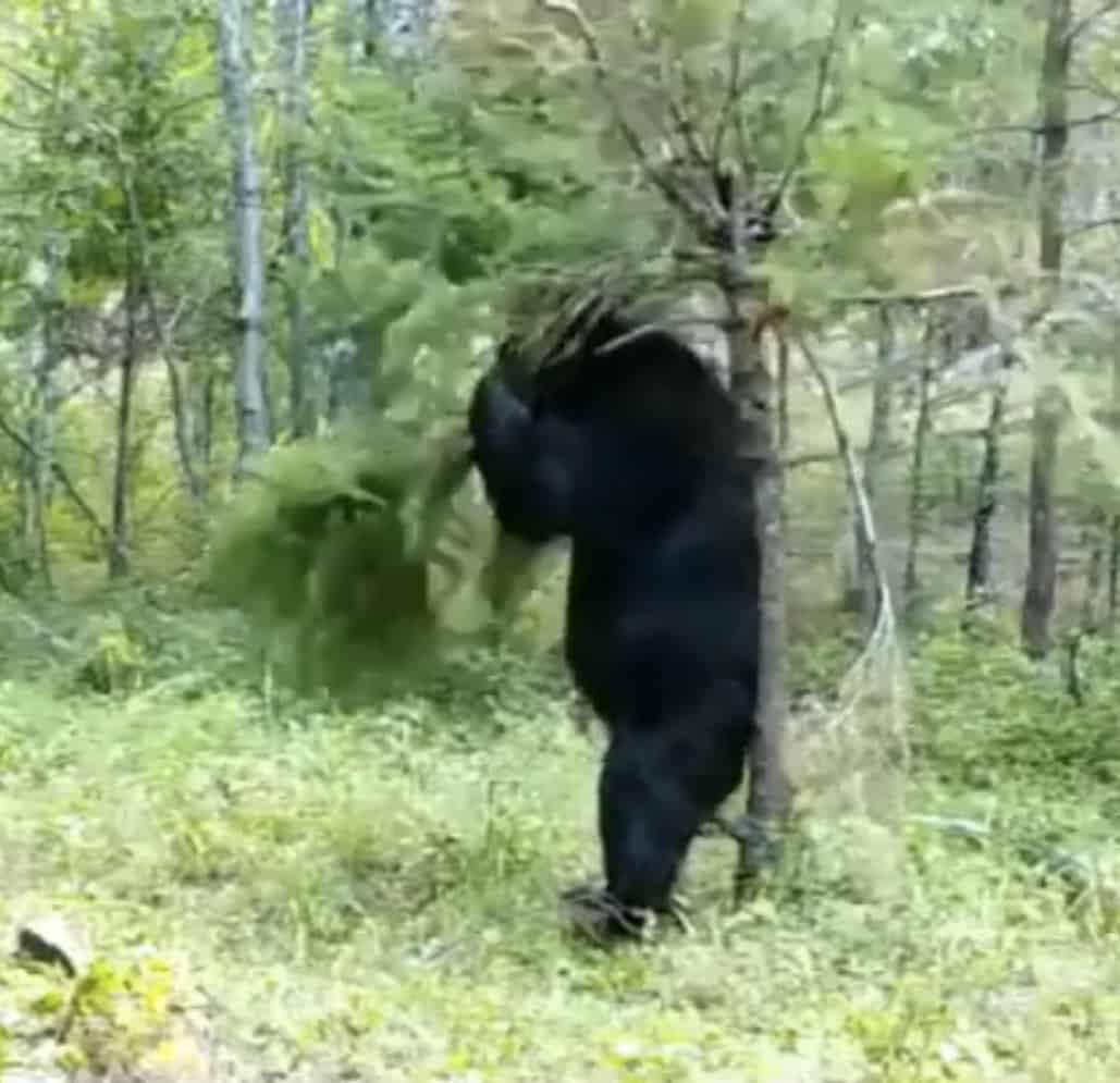 Un ours se gratte fort contre un petit arbre