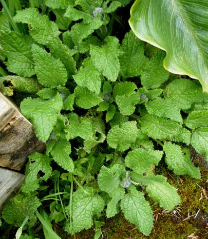 Littel Borage plants coming up all over the place