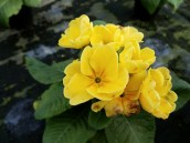 Primula (aka primrose)