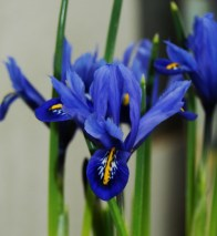 Siberian Iris, a breath of early spring purchased at a local market. Photo © Lisa M Harkins