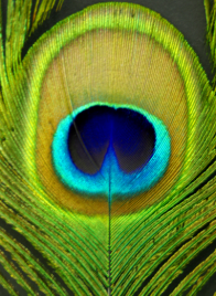 Peacock Eye © Gail Harker