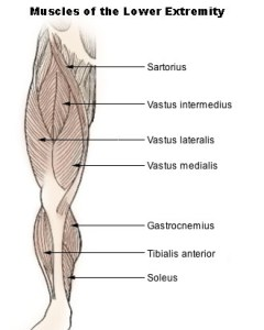 Illu_lower_extremity_muscles
