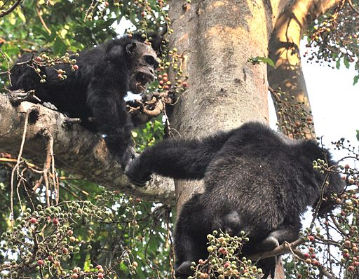 512px-Adult_male_chimps_in_mahale