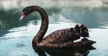 640px-Black_Swan_bg