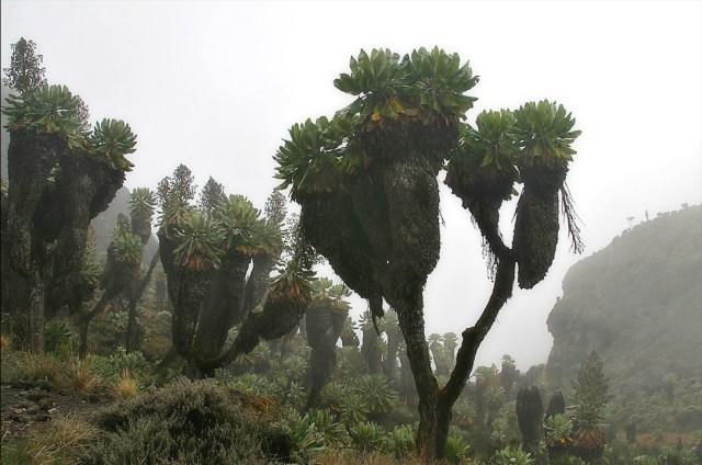 Senecio_kilimanjari_Barranco