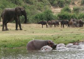 hippos swimmimg