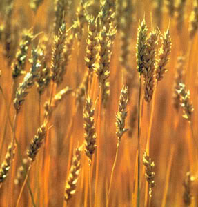 wheat PLEASE READ!!! The Threat of CSIRO's GM Wheat Revealed at Press Conference