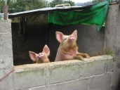 Backyard pigs Micha and Monche, one of which will be enjoyed for Christmas next month