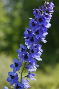 Bright Blue Delphinium Flower Stalk against green blurry background