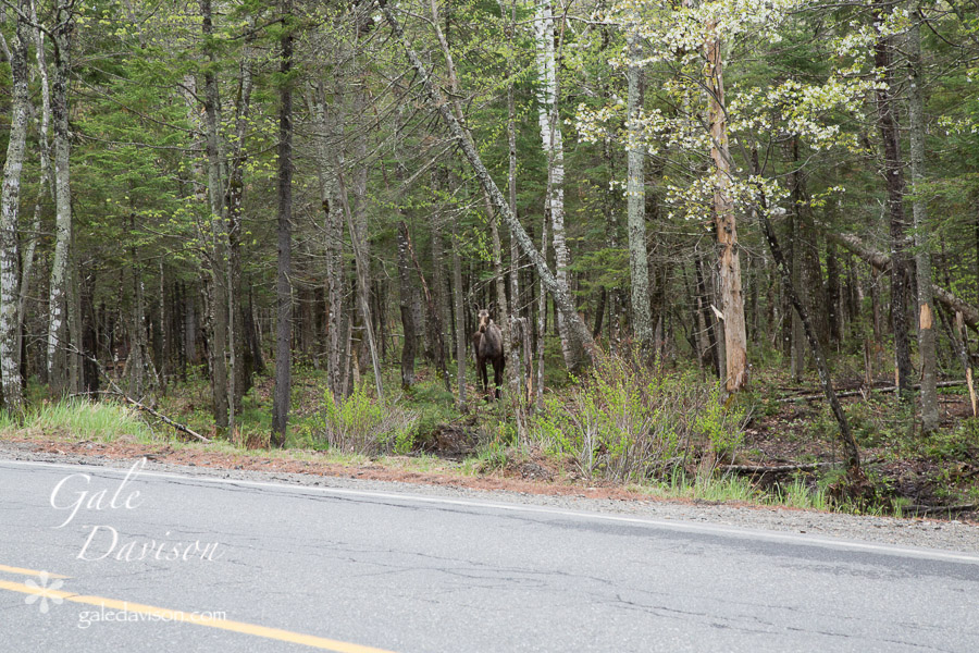 Moose with Calf-0455
