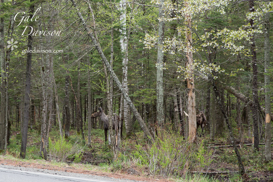 Moose with Calf-0461