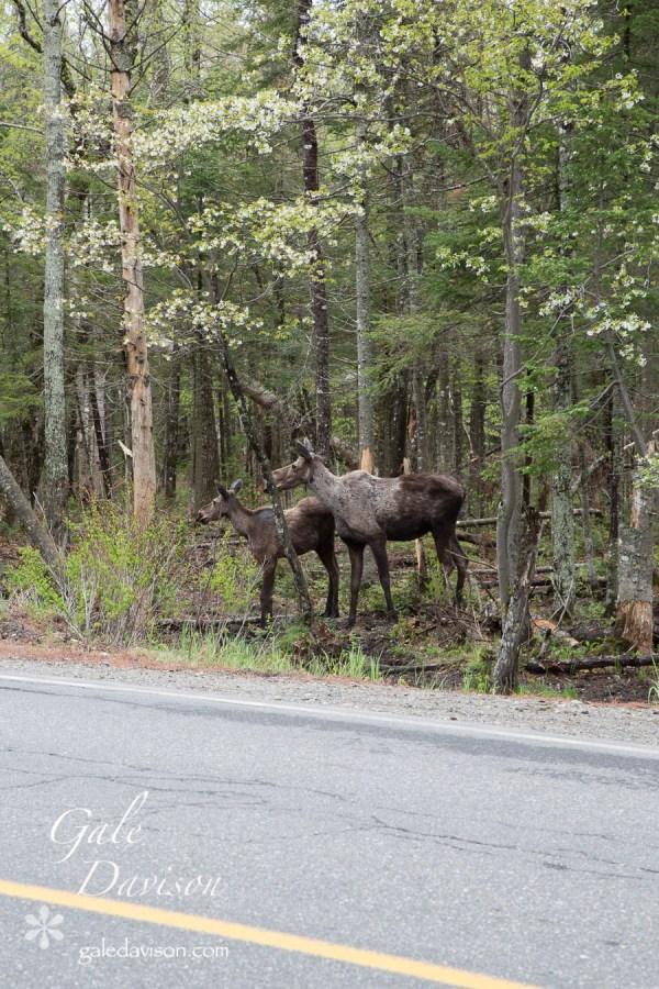 Moose with Calf-0492