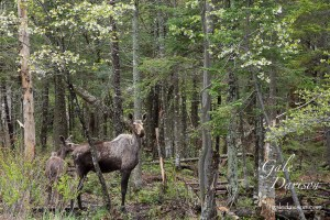 Mother's Day Moose of Mom and Calf in Northern Woods with flowering trees.