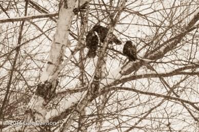 CrowsForValentines-1471