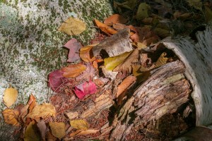 Red, orange, brown, gold leaves appear to be pouring out of white birch log lying against a green lichen covered boulder.
