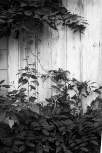 Black and White image of wisteria vine against paneling of old wooden door.