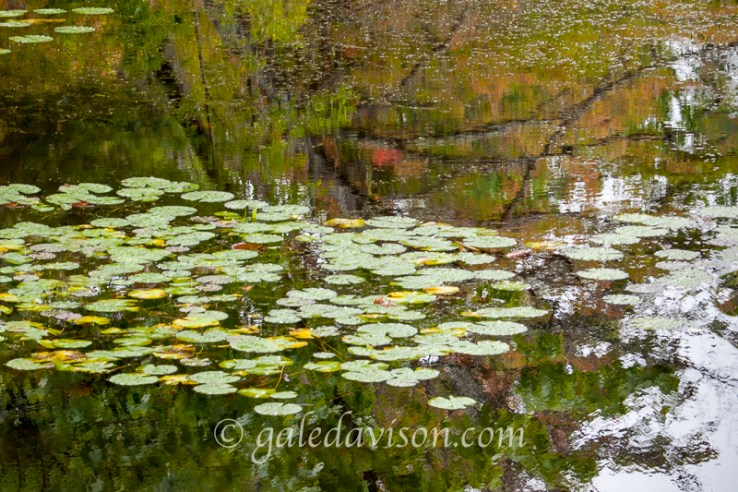 Monet-Like lily pads with reflections