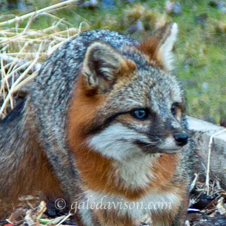 Head Shot of Grey Fox
