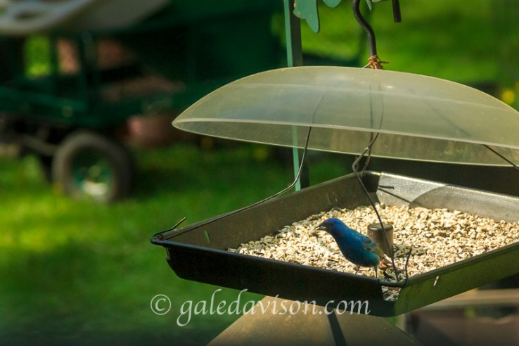 Indigo Bunting at bird feeder