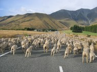 Sheep crossing, New Zealand