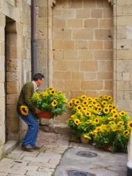 Sunflowers, Vernaza, Italy