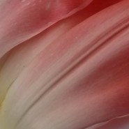 gr-tulip-07