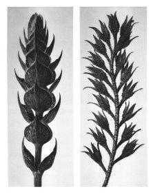Karl Blossfeldt: Salvia pratensis / Symphitum officinale, (published in wundergarten der Natur), source: wikimedia commons